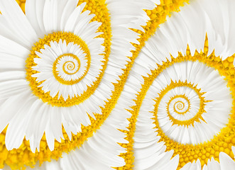 chamomile flower infinity spiral