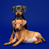 Miniature Pinscher puppies, 2 months old