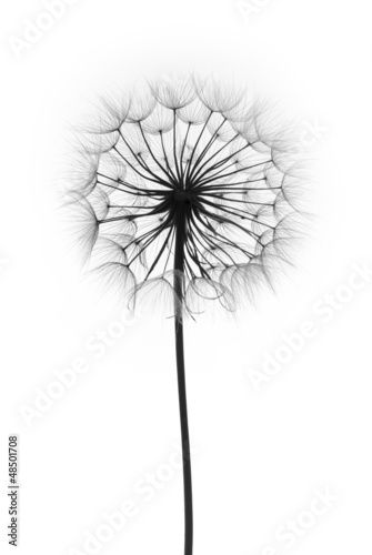 Fotobehang Paardebloem dandelion flower on a white background, silhouette