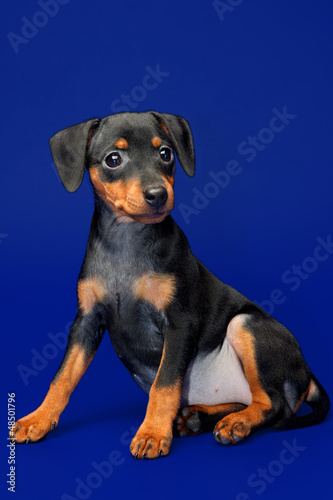 Miniature Pinscher puppy, 2 months old