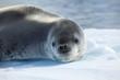 Leinwandbild Motiv Seeleopard Antarktis