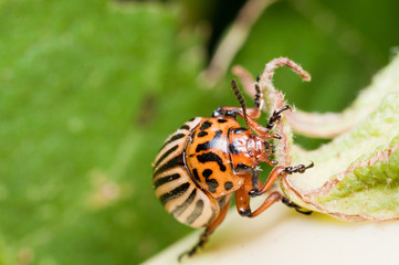 Colorado Potato Beetle on eggplant