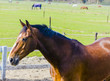 Beautiful bay horse on the farm field