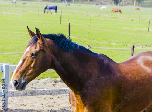 Beautiful bay horse on the farm field