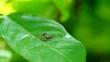Long fly make love on green leaf,thailand