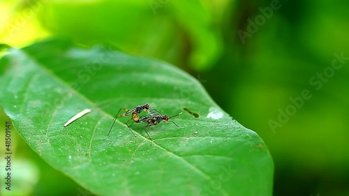 Long fly make love on green leaf,thailand