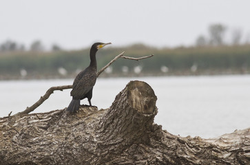 Cormorant sitting on a flooded hole.