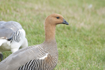 Female Greater Uplands Goose.