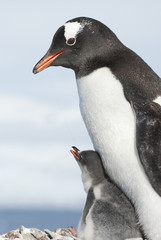 Gentoo penguin adult and chick