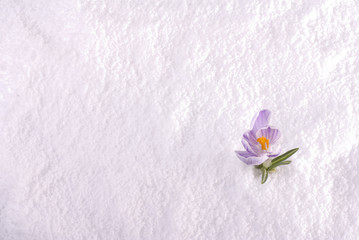 Crocus in Snow Striped Wide
