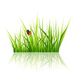 Vector grass with ladybird isolated on white background
