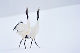 Two Red-crowned Cranes in courtship dancing.