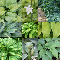 Hosta (Funkie) Collage im Ziergarten