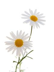 white Argyranthemum