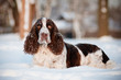springer spaniel dog lying in the snow