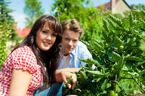 Gardening in summer - couple harvesting tomatoes