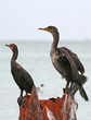 Double-crested cormorants of Clearwater,Florida