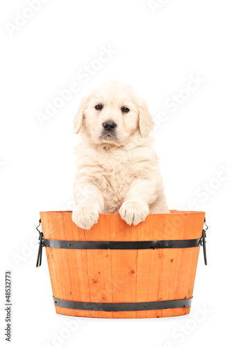 Cute retriever puppy dog standing in a barrel