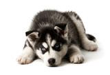 Fototapete Hund - Rapsfeld - Haustiere