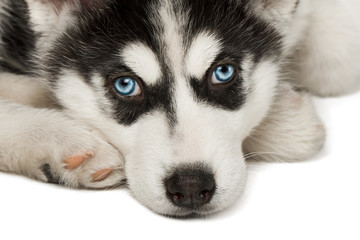 Close-up of husky puppy muzzle or face.