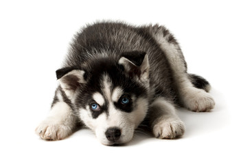 Adorable black and white with blue sleepy eyes Husky puppy.