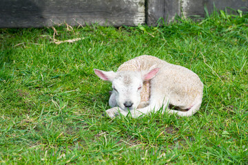 Just born lamb