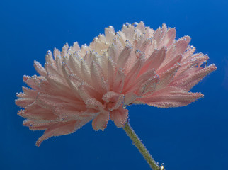 Chrysanthemum in water with air drops on blue