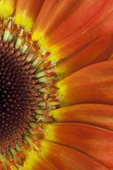 beautiful gerbera flower, close up