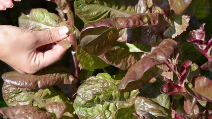 closeup woman hand gather pick salad leaves in rural garden