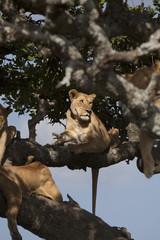 Tree lioness
