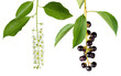 bird cherry flower and berries