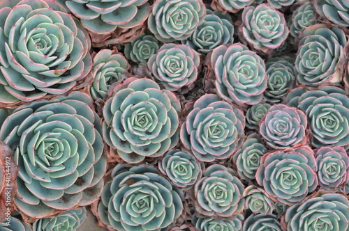 Deurstickers Cactus Hens and Chicks or Houseleek Plant