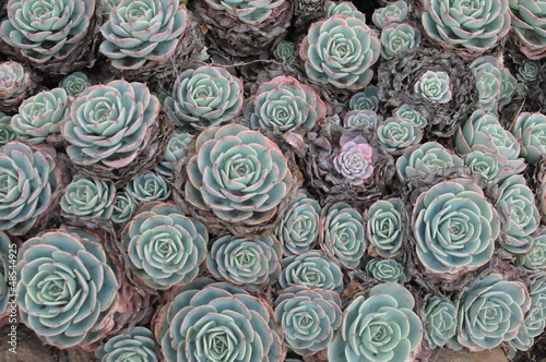 Foto op Canvas Cactus Hens and Chicks or Houseleek Plant