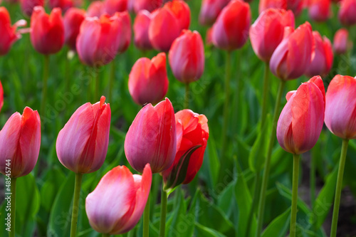 Red tulips field