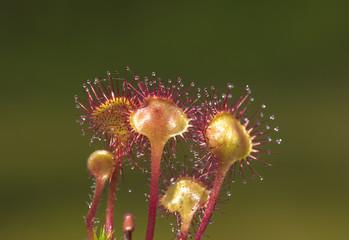 predatory flowers