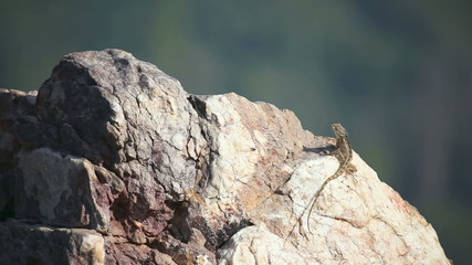 Lizard sunbathing on a rock.