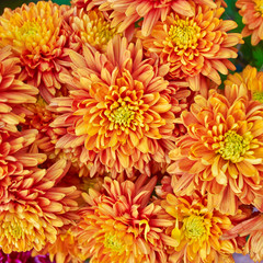 colorful chrysanthemums floral  background