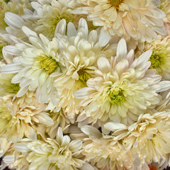 pale white chrysanthemums floral  background