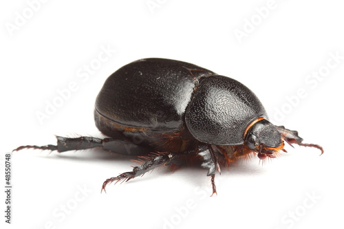 earth-boring dung beetle isolated on white