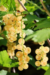 Ripe white currants.