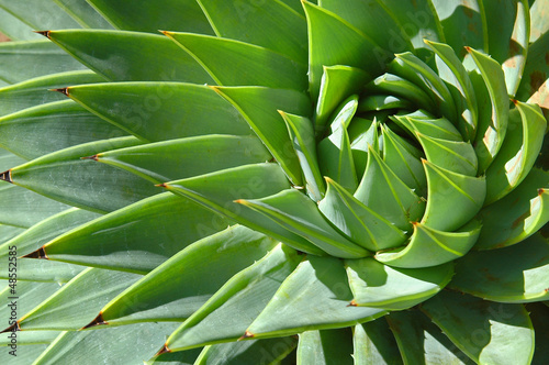 Spiral patterns of an aloe