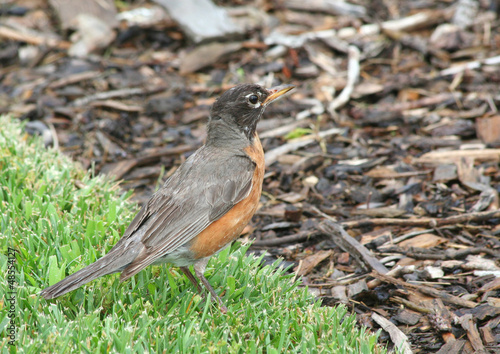 American Robin searching for food