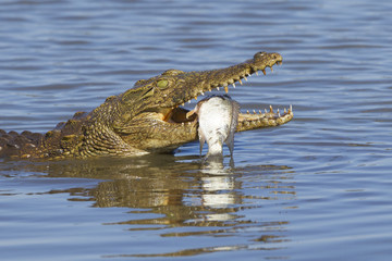Nile Crocodile (Crocodylus niloticus) eating, South Africa