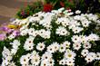 Daisies in flower shop