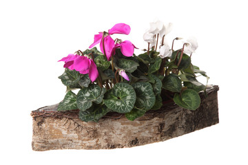 blooming pink cyclamen in a pot on a white background