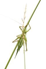 Grünes Heupferd / grasshopper