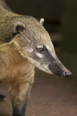 Snout of a Coati