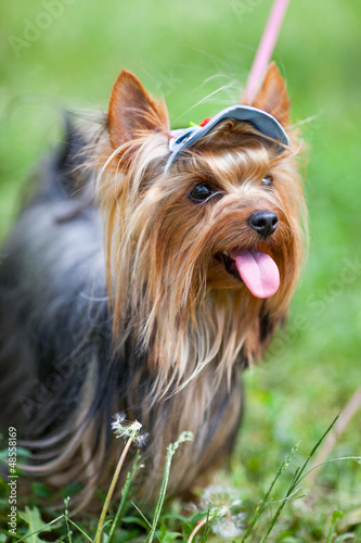 Yorkshire terrier in a cap