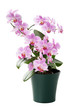 Beautiful orchid in the cache-pot isolated