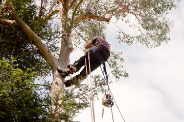 Man and chainsaw swinging in tree